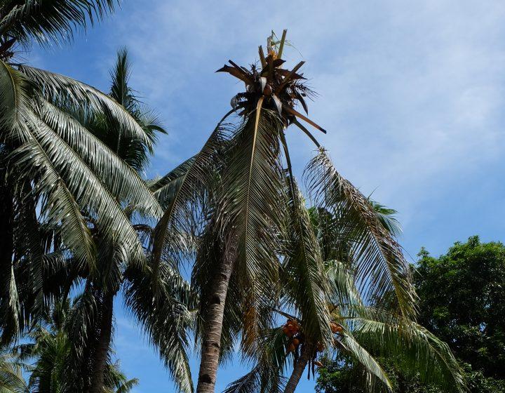 Coconut rhinoceros beetle threatens Russell Islands plantation