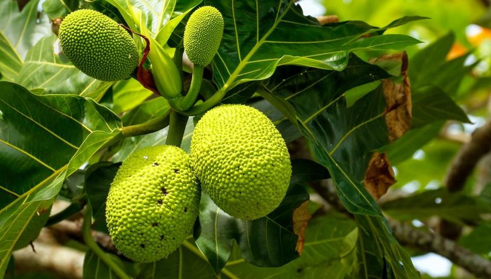 Say cheers: You may soon be able to drink whiskey made from breadfruit