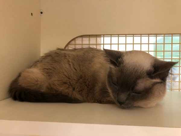Adoptable #Cat #Luna_SDHSCA_0R Nap time! ❤️ https://t.co/mKXq9hnZny https://t.co/l2zNUsC8UL