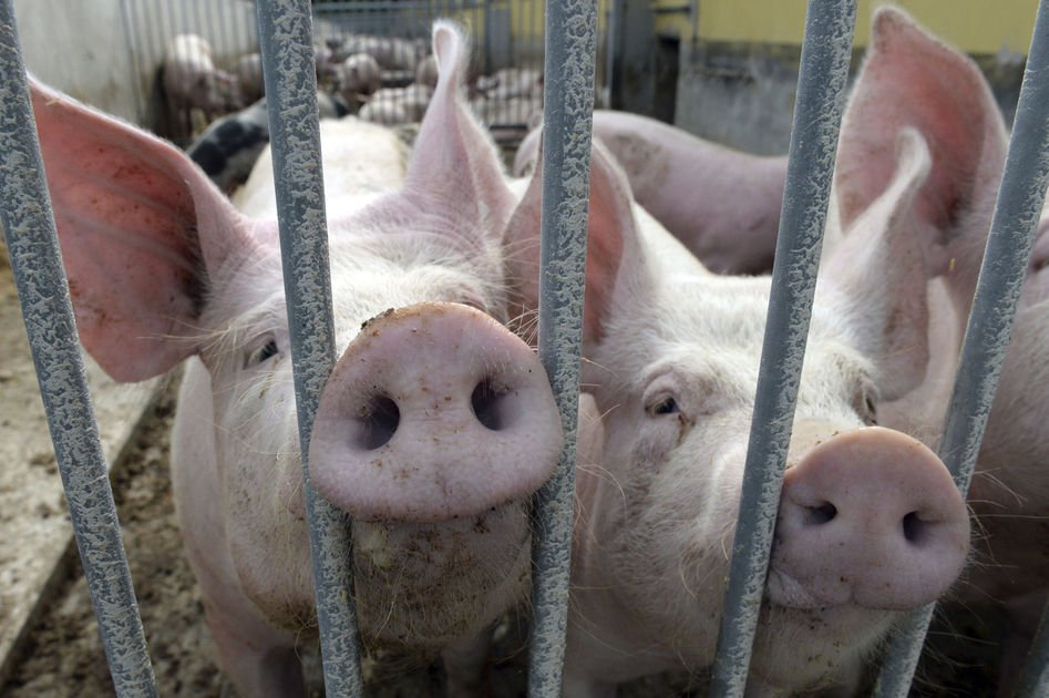 Hog wild: Pigs outnumber people in Denmark, No. 1 in Europe