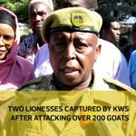 Two lionesses captured by KWS after attacking over 200 goats