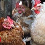 Avian flu found in wild bird in Barry, Vale of Glamorgan