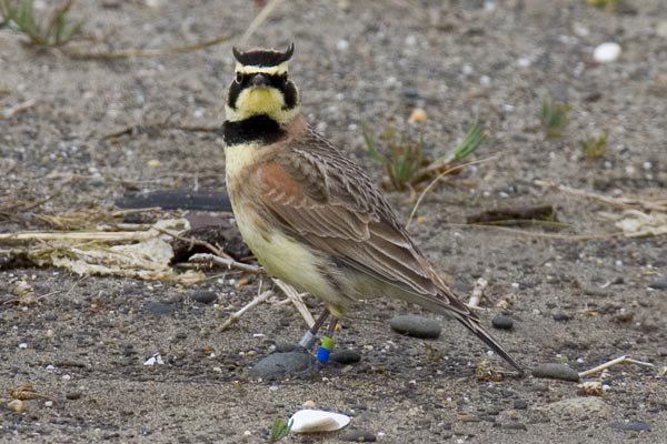 Lawsuit seeks stronger protections for 'threatened' Oregon bird species
