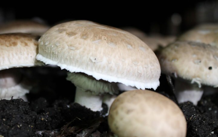 Chinese experts teach mushroom farming in Fiji