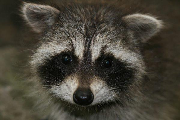Sick raccoons being seen in DeLand and Edgewater