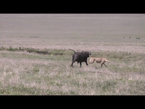 Buffalos vs a lion pride