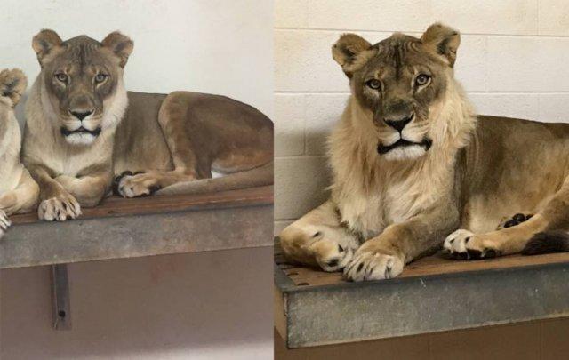 Leoa cria juba e intriga veterinários de zoológico nos Estados Unidos - Emais - Estadão
