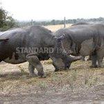 Scientist mull IVF to save white rhinos staring at extinction
