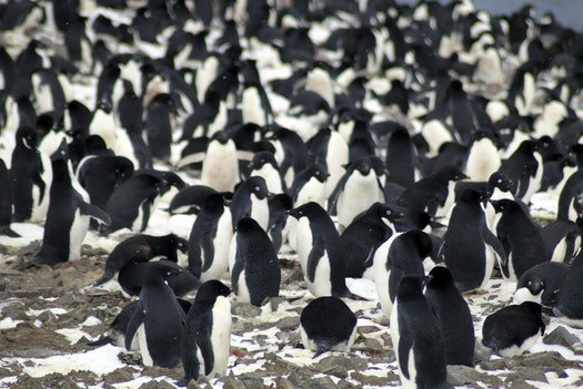 Supercolony of Adelie penguins found near Antarctica