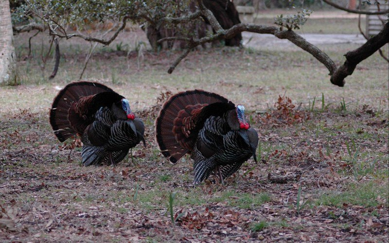 Wild turkeys hanging out at health clinic harassing patients, officials say