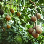 Woman hacked to death over macadamia nuts