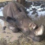 Health of Sudan, last male northern white rhino, improves slightly
