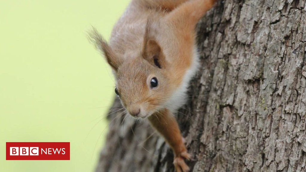 Red squirrel numbers boosted by predator
