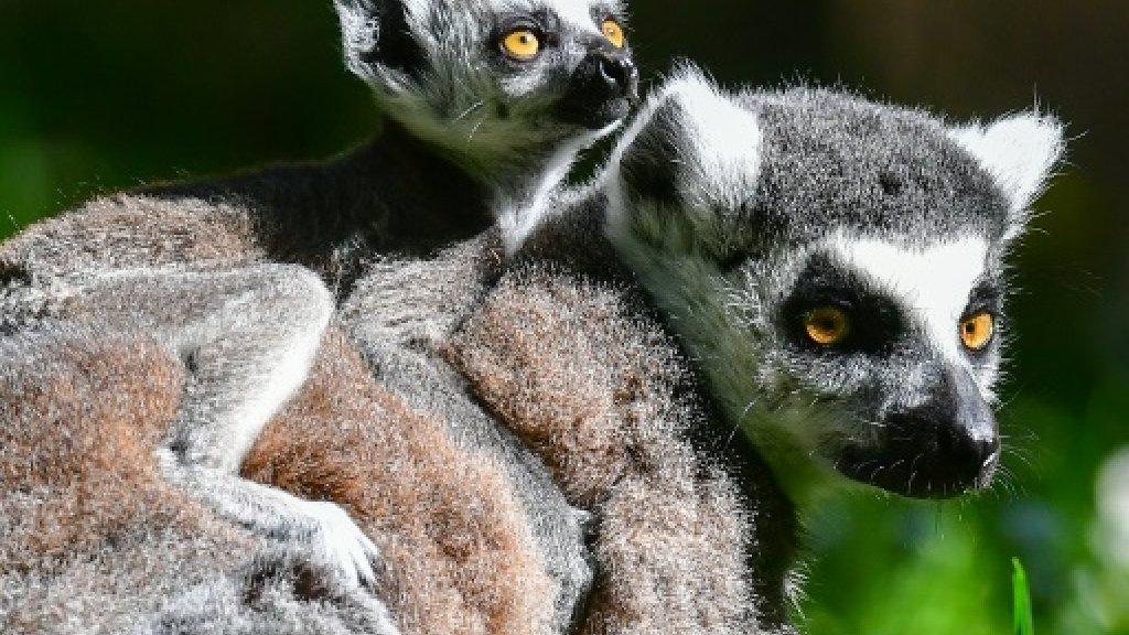 Madagascar makes arrest after lemurs found dead