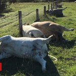 Row of cows in Australia killed 'by lightning strike'