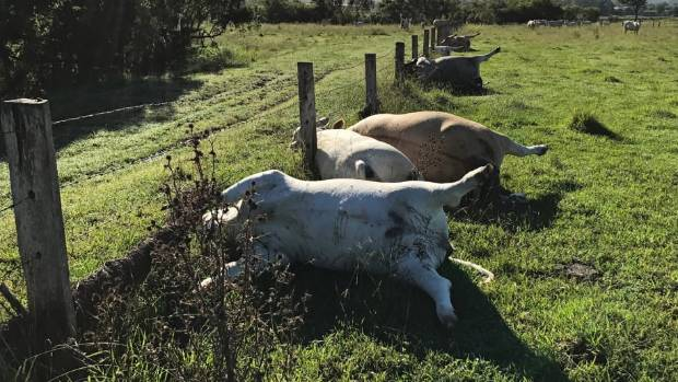 Row of cows found dead after lightning strike in Australia