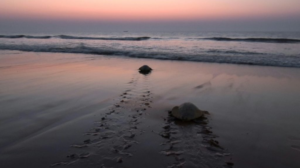 India's turtle warriors embrace mission to save threatened species