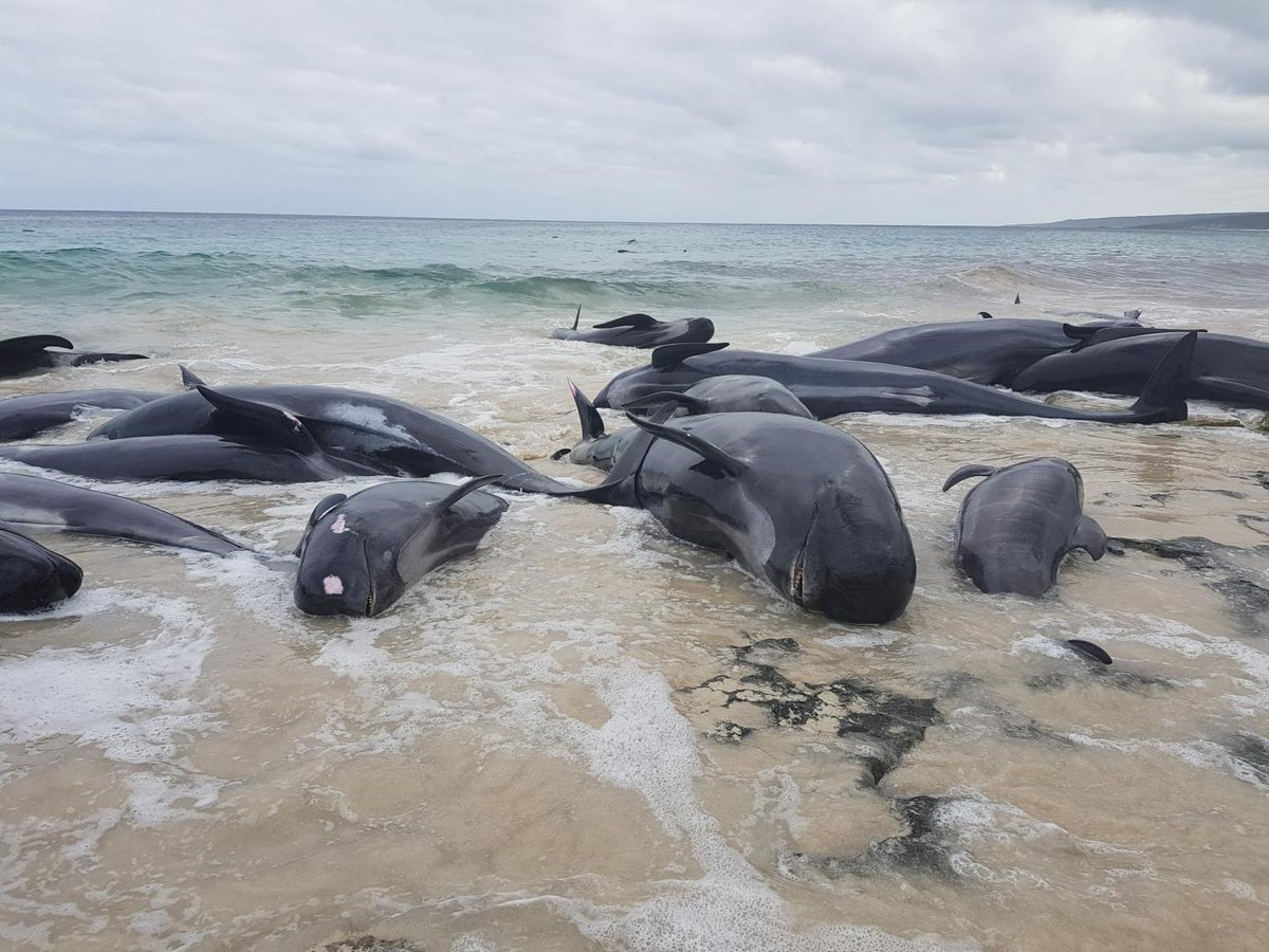 135 pilot whales die in horrific mass beaching as rescuers rush to save those still alive