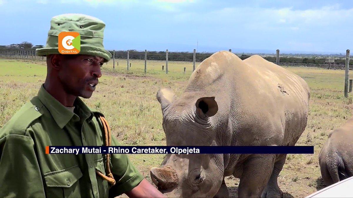 Fresh efforts to stop Northern White Rhino extinction
