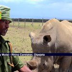 Fresh efforts to stop Northern White Rhino extinction