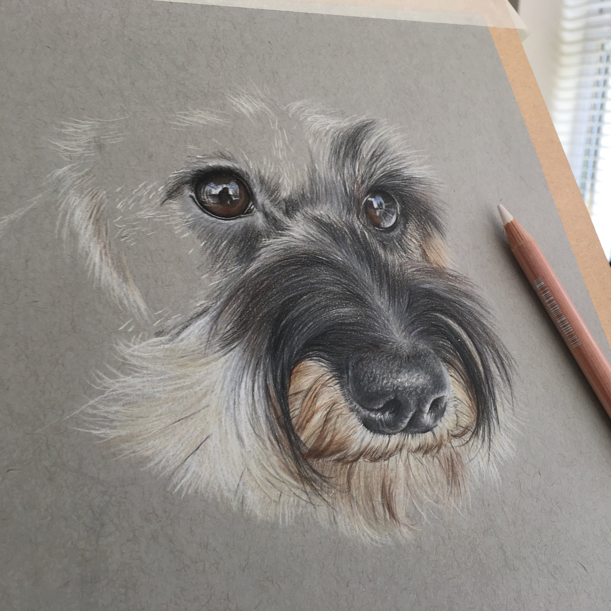 Completed Mini Wirehaired Dachshund Lottie, such a dear little face 🐾 #colouredpencil #petportraits #artistsontwitter @strathmoreart https://t.co/cdYyykILs2