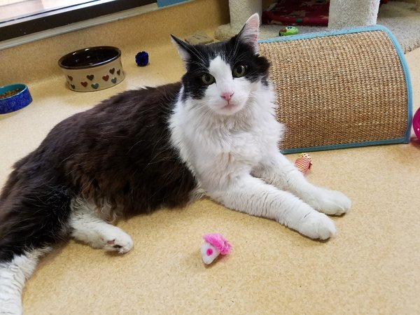 Adoptable #Cat #Wiffy_SDHSCA_01 Mr. personality! https://t.co/VhaqKXuSU3 https://t.co/h4nIQEOxXA