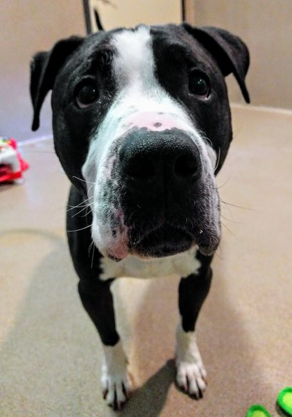 Adoptable #Dog #Roscoe_SDHSCA_19 Playful Roscoe has the sweetest face! https://t.co/ZFcWSBPAqT https://t.co/Ps1wtED2ed