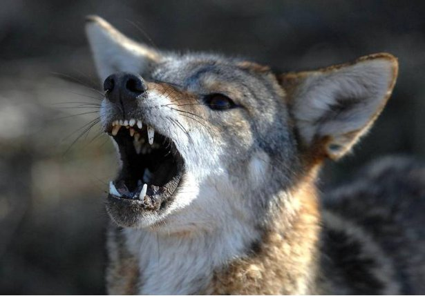 NC mom fights off coyote attacking daughter. 'It just wanted to - | WBTV Charlotte