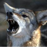 NC mom fights off coyote attacking daughter. 'It just wanted to -   WBTV Charlotte