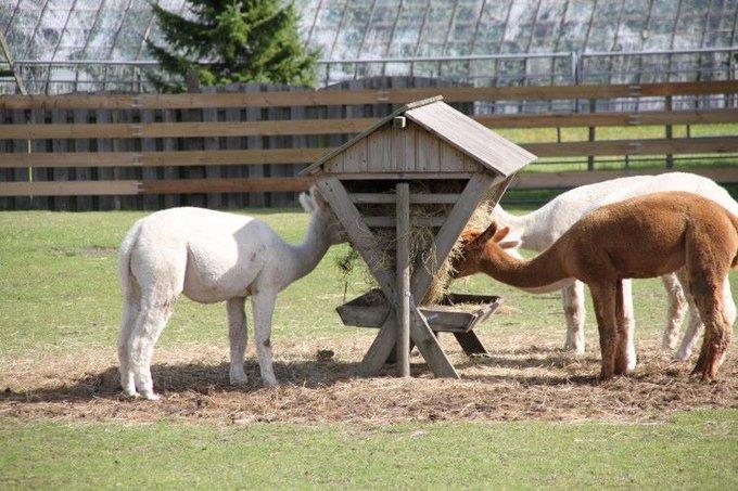 ADV; Theo Enthoven wil Alpaca 's terug in het Westland https://t.co/Flp2Ek5cYF https://t.co/gsm8NnEChd