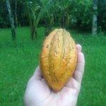 #فاكهه_تحبها_دايما1 فاكهة الكاكاو 😍 ادري كثير يجهل...