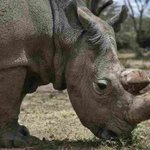 Sudan, World's Last Male Northern White Rhino,Die...