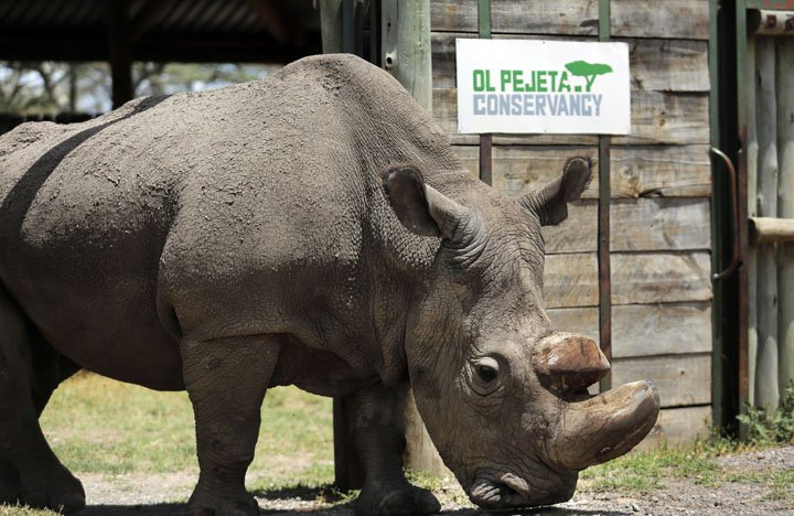 @BroadcastImagem: Sudan, o último rinoceronte branco macho do mundo, morre aos 45 anos no Quênia. AP Photo