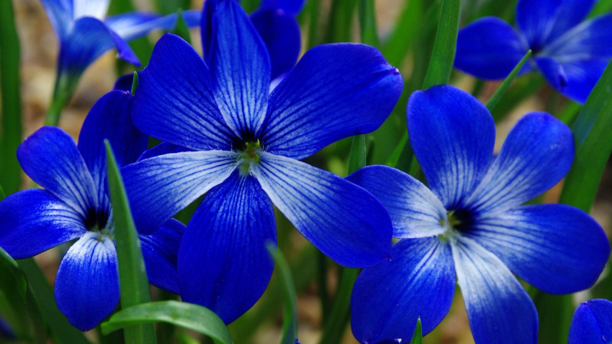 Common Name Of Blue Flowers Wiring Diagrams