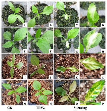 test Twitter Media - Tobacco rattle virus-induced PHYTOENE DESATURASE (PDS) and Mg-chelatase H subunit (ChlH) gene silencing in Solanum pseudocapsicum L. https://t.co/v3DF5Ejcup https://t.co/zInvw3GSvh