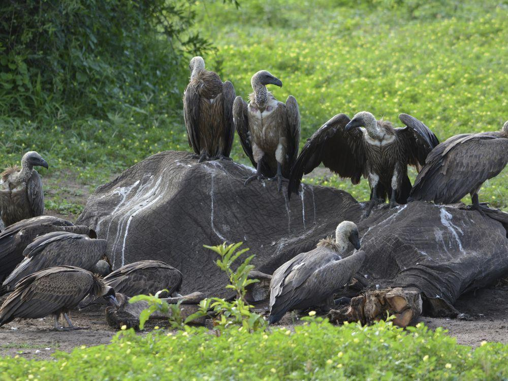Toxic bullet lead ingested while devouring animal carcasses is killing Africa's vultures