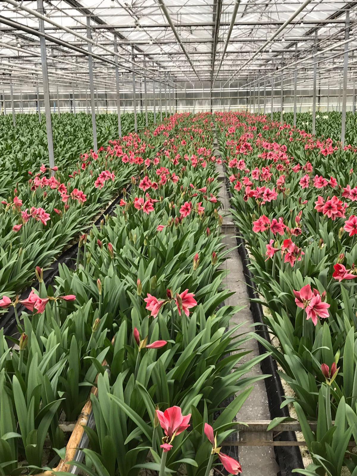 Kijk hoe mooi de amaryllissen er bij staan bij Kwekerij de Bergakker!!Zondag 8 april kun je ze zelf bezichtigen 😄#komindekas#lingewaard https://t.co/PCJAHw9aG4