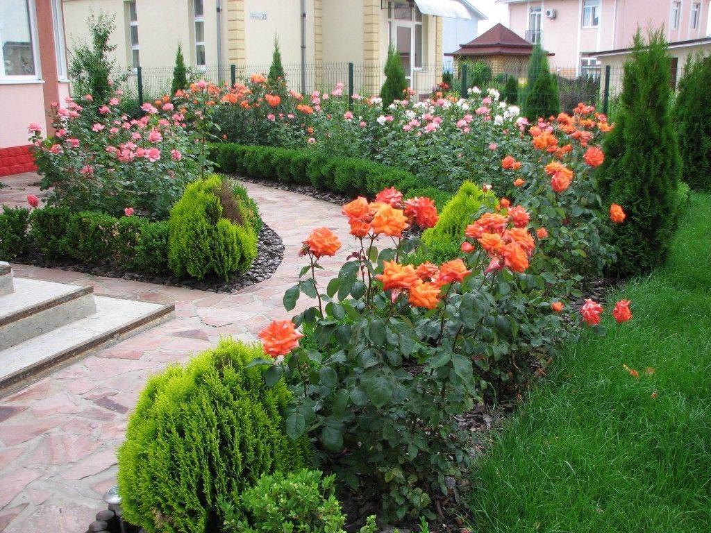 Секреты выращивания роз на даче 71