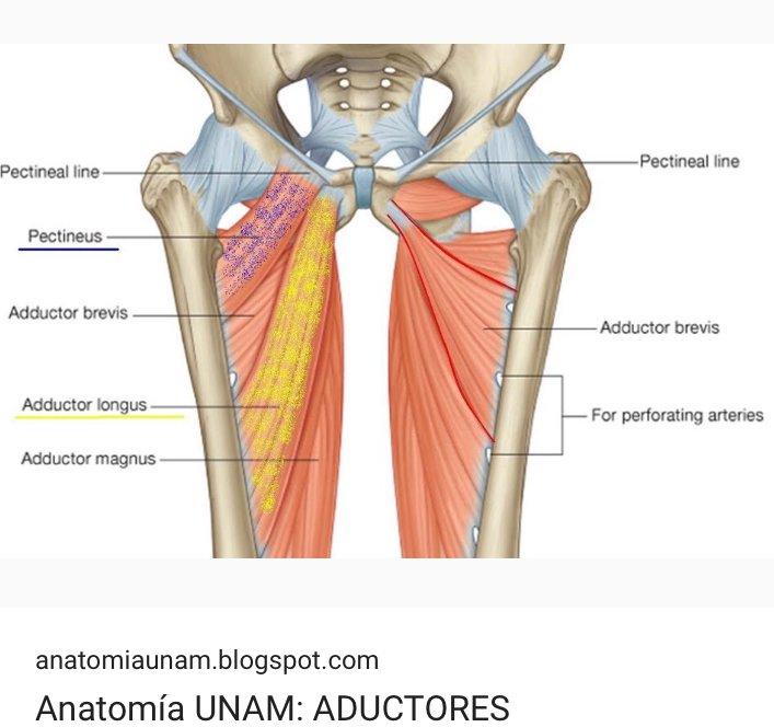 Aporte médico educativo: los adductores (aductores) son músculos ...