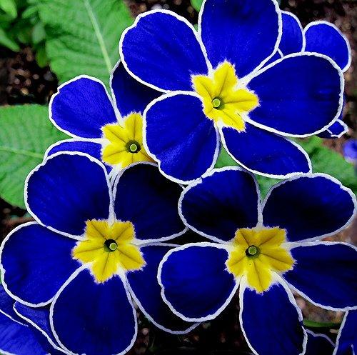 Blue primroses #flowers https://t.co/ngMSGBELz7
