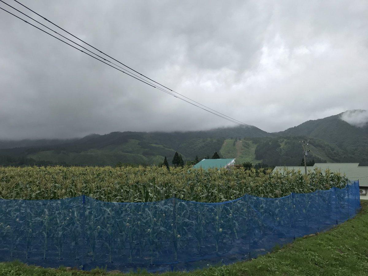 test ツイッターメディア - 2回目のサマー🌻スキー⛷‼️ 気温20℃  天候☁️ ☔︎ 🌂のおかげで良好なバーンですが、 エッヂが摩耗してしまい、K-PROJECTさんでギンギン🔪になりました😊 予定より早上がりしたので、石徹白の🌽畑のパトロール(^。^)  8月には食べれそうだ〜😋 お昼は関市でトンカツ🍱 🈵 — 場所: ウイングヒルズ白鳥 https://t.co/F0WSrDbNy8