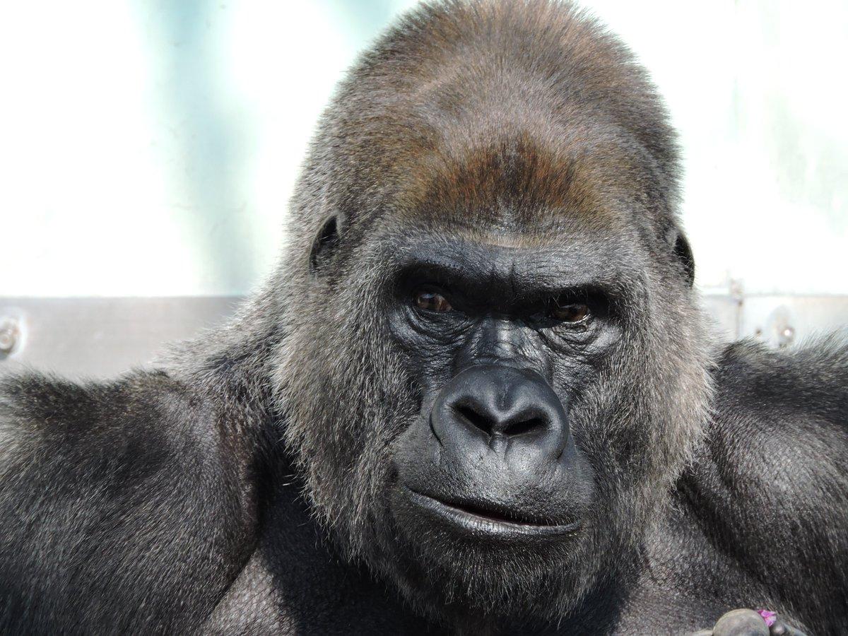 test ツイッターメディア - 7/19はビンドンさんの誕生日。ご存命であれば32歳になりますね。 有名な東山動植物園のシャバーニさんに負けず劣らずイケメンゴリラさんでした。 2016/2/9撮影 #福岡市動物園 #ニシローランドゴリラ #ゴリラ #gorilla https://t.co/HNSIaseL8h