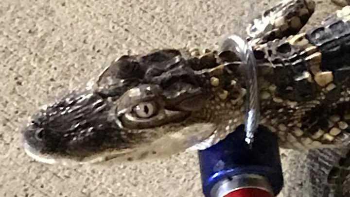 test Twitter Media - Alligator found in parking lot of Giant Eagle in Shaler https://t.co/NOWYxcgcwa https://t.co/pmkKZ2gTbB