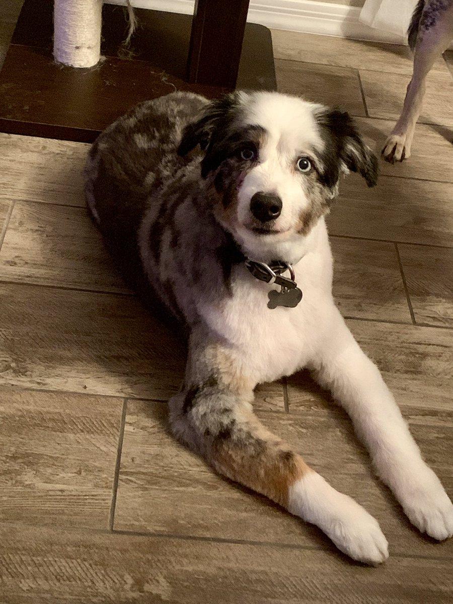 My pretty little poochie quigley #puppydogeyes #aussieshepherd #blueeyes https://t.co/dijWsMsjXU