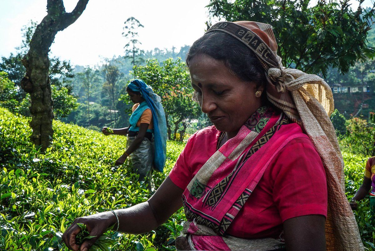 The colonial history of tea in Sri Lanka — in pictures