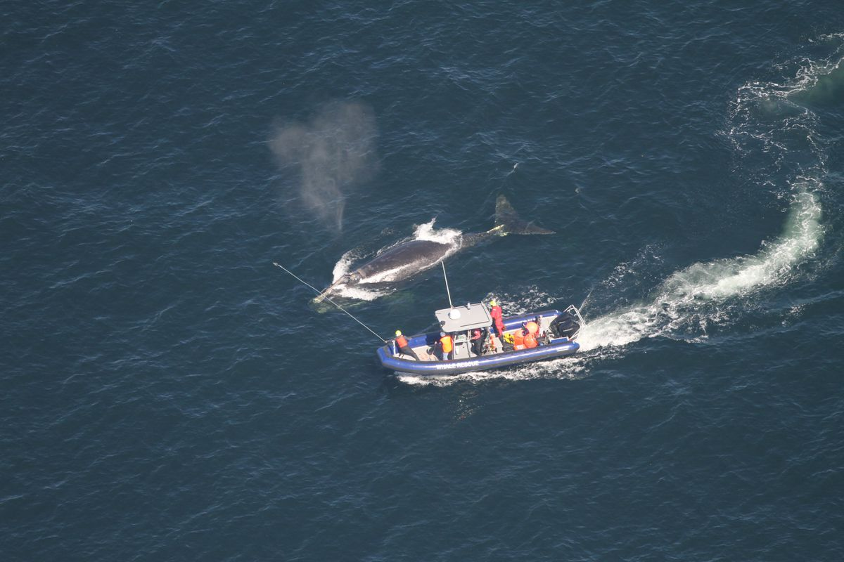 Rescuers will try to free entangled North Atlantic right whale on Sunday