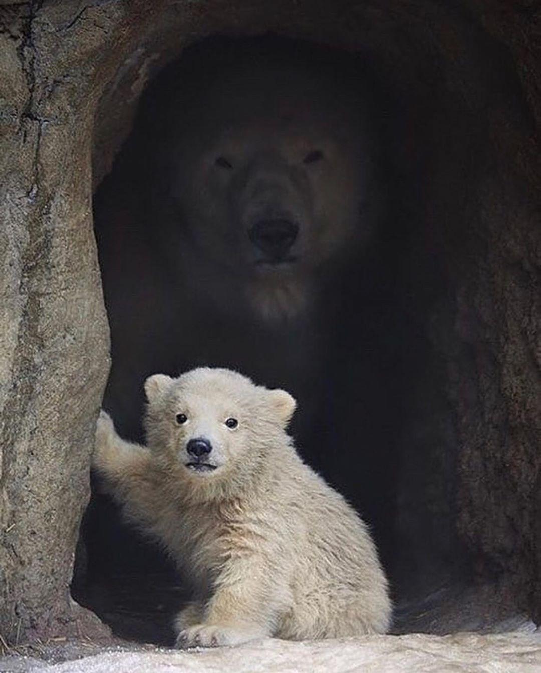 Mama polar bear taking care of her baby ❤️❤️❤️ Photo By: Sergey Gladyshev https://t.co/tCSeuNjphC