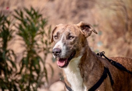 DUQUE❤️😍💕#AdoptMe  https://t.co/HMWyqOpHjh  #AdoptDontShop #dogsoftwitter #dogs #dogsneedhome #dogsofspain https://t.co/eTJ1KwbKWy