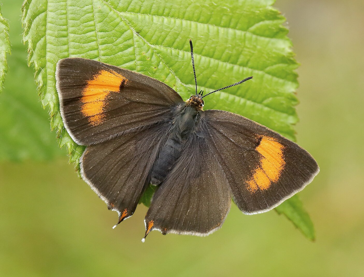 The first Brown Hairstreak (Thecla betulae) of 2019 has been reported from Surrey - earlier than average but not as early as last year (library image @IainHLeach) https://t.co/RcO4Gx7gKJ
