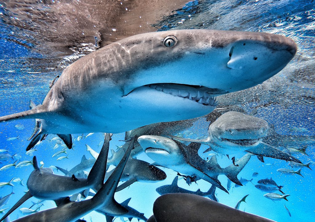 Can anyone guess what starts in exactly two weeks!? I'll give you a hint, it doesn't rhyme with Negaprion Brevirostris or Carcharhinus Perezii... How many sharks can you count & how many different species? 📸= @GoPro #Hero7 #abc4explore @SharkWeek #SharkWeek https://t.co/NecjGxy1HP